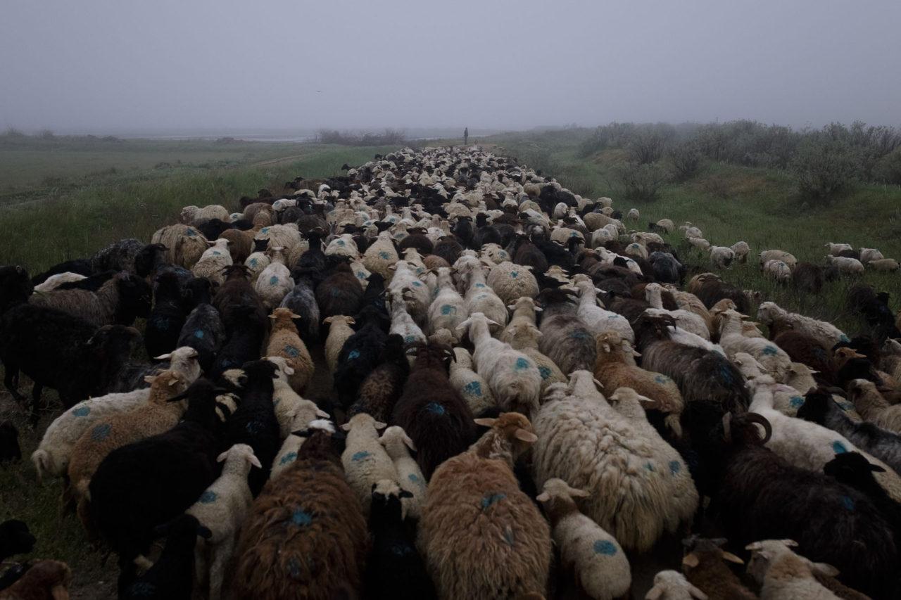 Auftrieb der Herde / Foto © Jewgenija Shulanowa