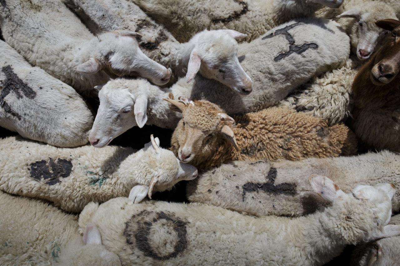 Die Schafherde beim Baden / Foto © Jewgenija Shulanowa