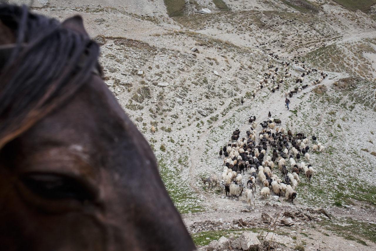 Die Herde kehrt aus den Bergen zurück / Foto © Jewgenija Shulanowa