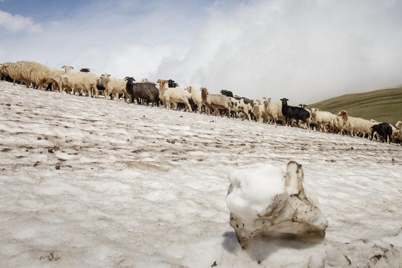 Die Schafherde / Foto © Jewgenija Shulanowa