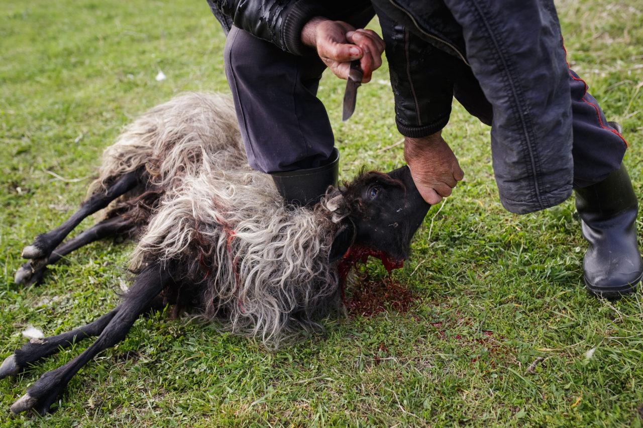 Ein krankes Schaf / Foto © Jewgenija Shulanowa