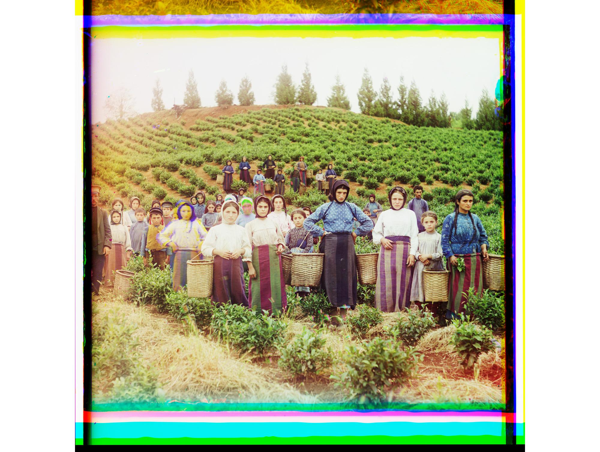 Eine Gruppe von Arbeitern bei der Tee-Ernte (griechische Frauen), Tschakwi, Georgien, zwischen 1905 und 1915