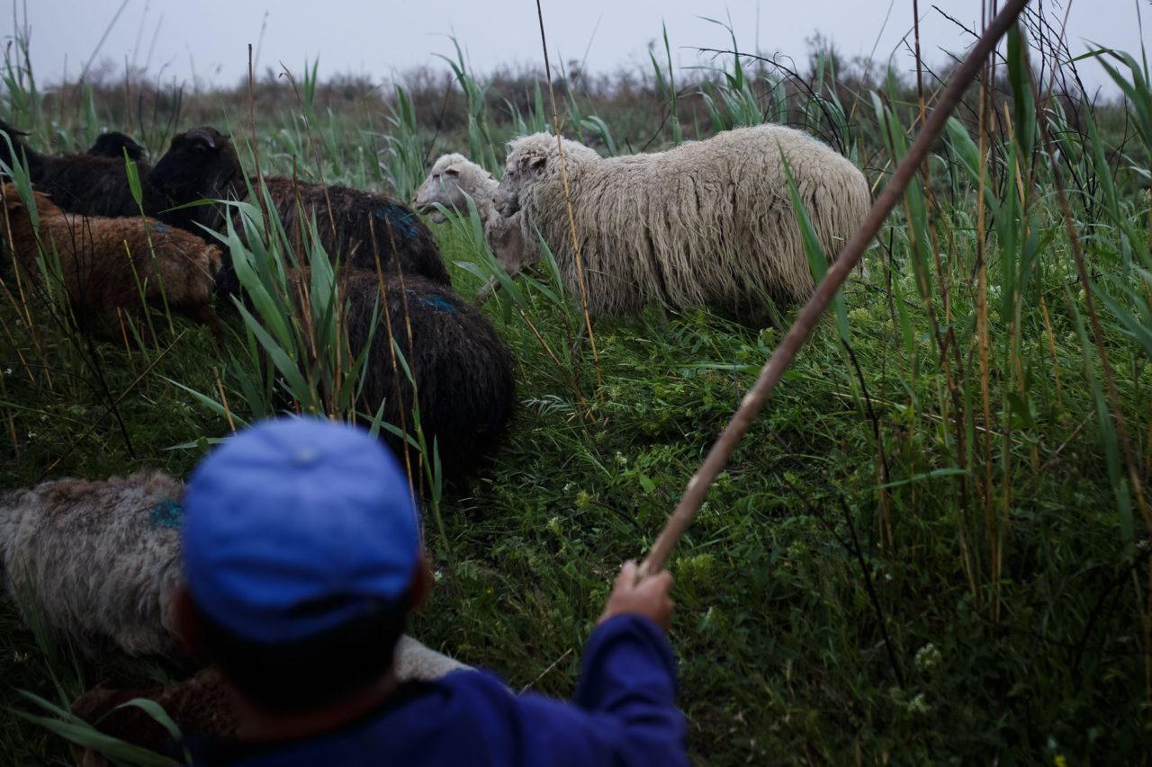 Bek treibt ein Schaf / Foto © Jewgenija Shulanowa